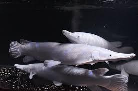 Ikan Predator jadi Trend Pecinta Ikan Hias Masa Kini