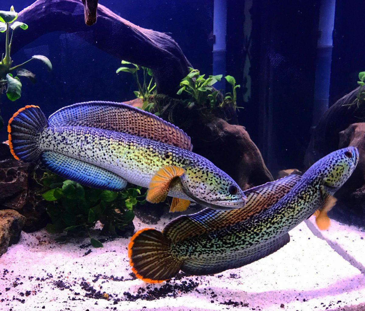Trend Ikan Predator, Ikan Hias Kelas Berikutnya